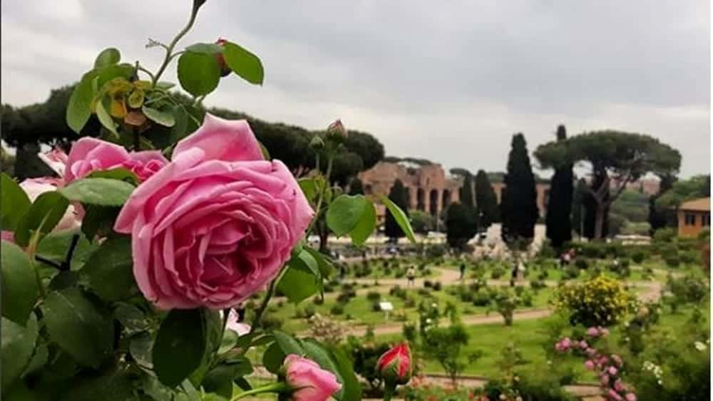 Take part in the photo contest for Rome's most beautiful rose