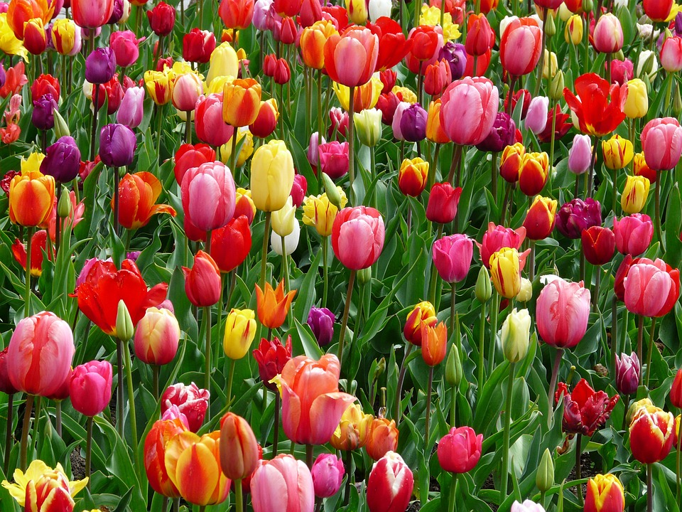 Tulips 52125 960 720