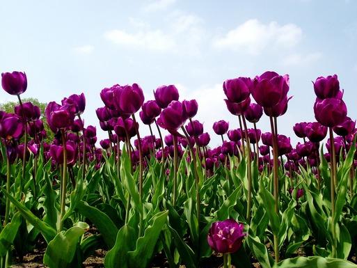 Slider tulips 142114 1280
