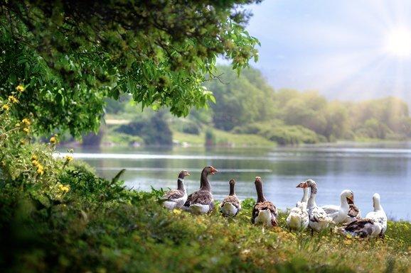 Slider wild geese 3379677 1280