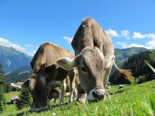 Slider cows