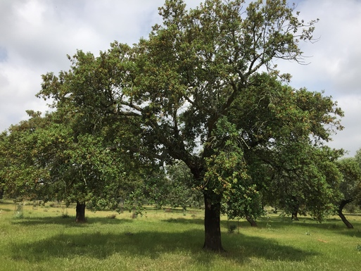 Slider cork oaks