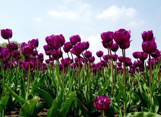Medium tulips 142114 1280