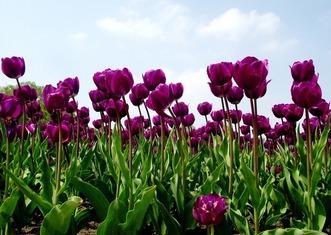 Thumb tulips 142114 1280