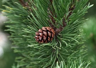 Thumb pine 2988599 1920