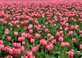 Thumb tulips 175600 1920
