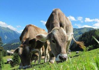 Thumb cows