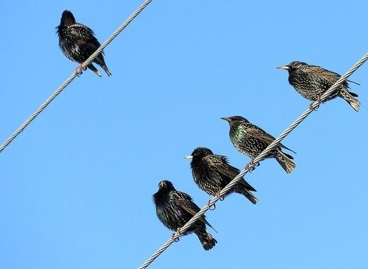 Medium starlings