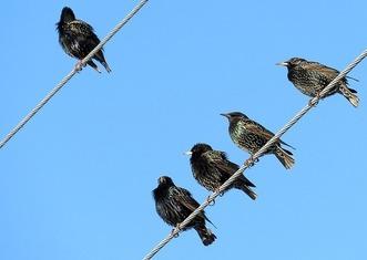 Thumb starlings