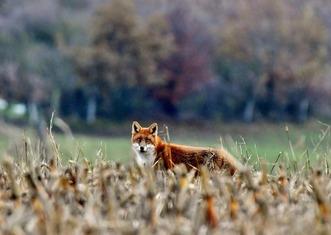 Thumb fox 4653741 1920