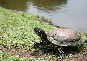 Thumb red eared slider