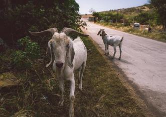 Thumb goats