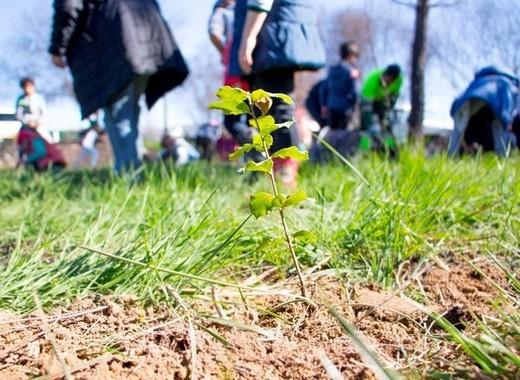 Medium tree planting