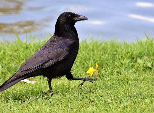 Medium crow 3352389 960 720
