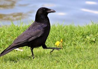 Thumb crow 3352389 960 720