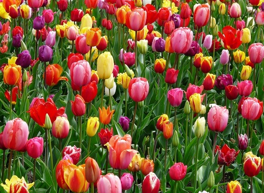 Medium tulips 52125 960 720