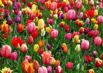Thumb tulips 52125 960 720