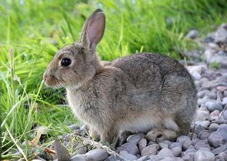 Thumb hare 2647220 1280
