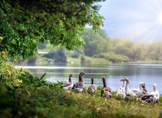 Medium wild geese 3379677 1280