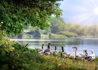 Thumb wild geese 3379677 1280